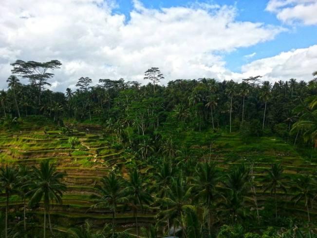 Ubud - Rice Paddies View 3